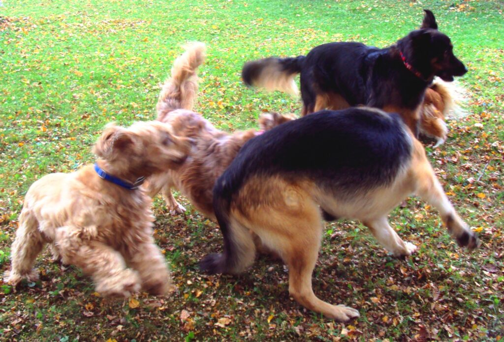 Buddy playing with the other dogs