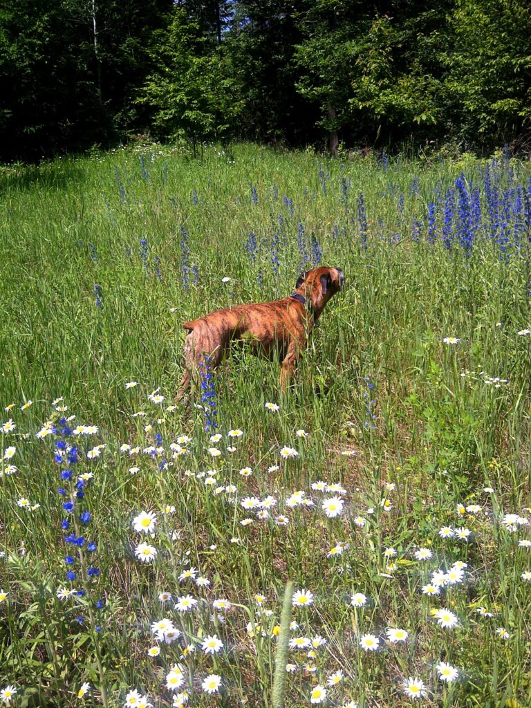 Robbie enjoying the wildflowers